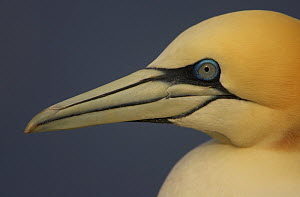 Northern gannet (Morus bassanus) portrait, Saltee Islands, Ireland, May 2008 - Wild Wonders of Europe / Green