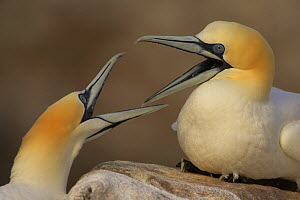 Northern gannets (Morus bassanus) fighting, Saltee Islands, Ireland, May 2008  -  Wild Wonders of Europe / Green