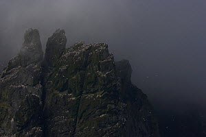 Northern gannet (Morus bassanus) colony on rocks in low cloud, St Kilda, Scotland, May 2009 - Wild Wonders of Europe / Green
