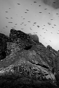 Northern gannet (Morus bassanus) in flight over cliffs, St Kilda, Scotland, May 2009 - Wild Wonders of Europe / Green