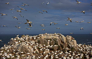 Northern gannet (Morus bassanus) colony, Saltee Islands, Ireland, June 2009 - Wild Wonders of Europe / Green
