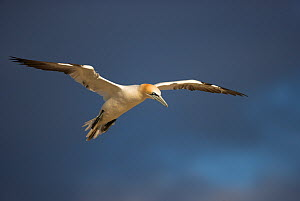 Northern gannet (Morus bassanus) in flight, Saltee Islands, Ireland, June 2009 - Wild Wonders of Europe / Green