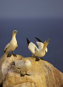 Northern gannets (Morus bassanus) on rock displaying, Saltee Islands, Ireland, June 2009 - Wild Wonders of Europe / Green