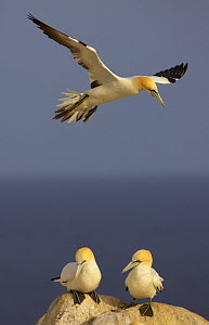 Northern gannet (Morus bassanus) flying over two on rock, Saltee Islands, Ireland, June 2009 - Wild Wonders of Europe / Green