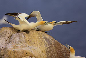 Northern gannets (Morus bassanus) on rock squabbling, Saltee Islands, Ireland, June 2009  -  Wild Wonders of Europe / Green