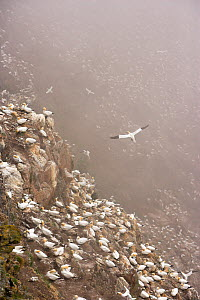 Northern gannet (Morus bassanus) colony in mist, Hermaness, Shetland Isles, Scotland, July 2009 - Wild Wonders of Europe / Green