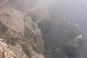 Northern gannet (Morus bassanus) colony on cliffs in mist, Hermaness, Shetland Isles, Scotland, July 2009 - Wild Wonders of Europe / Green