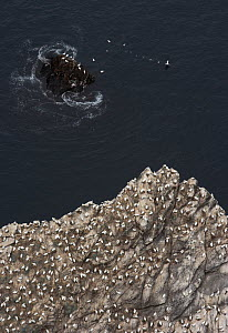 Northern gannet (Morus bassanus) colony on cliff, Hermaness, Shetland Isles, Scotland, July 2009  -  Wild Wonders of Europe / Green