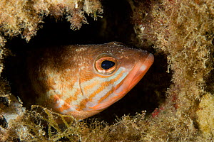 Comber (Serranus cabrilla) looking out of hole, Larvotto Marine Reserve, Monaco, Mediterranean Sea, July 2009  -  Wild Wonders of Europe / Banfi
