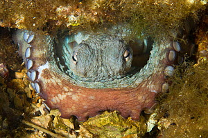 Common octopus (Octopus vulgaris) in hole, Larvotto Marine Reserve, Monaco, Mediterranean Sea, July 2009 - Wild Wonders of Europe / Banfi