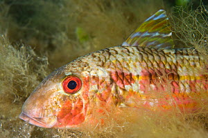 Striped red mullet (Mullus surmuletus) portrait, Larvotto Marine Reserve, Monaco, Mediterranean Sea, July 2009 - Wild Wonders of Europe / Banfi