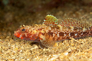 Red mouthed goby (Gobius cruentatus) on seabed, Larvotto Marine Reserve, Monaco, Mediterranean Sea, July 2009 - Wild Wonders of Europe / Banfi