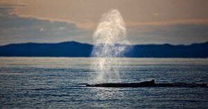 Humpback whale (Megaptera novaengliae) blowing, Disko Bay, Greenland, August 2009  -  Wild Wonders of Europe / Jensen