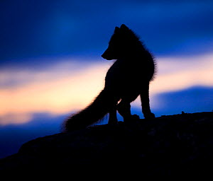 Arctic fox (Vulpes lagopus) silhouetted at twilight, Greenland, August 2009  -  Wild Wonders of Europe / Jensen