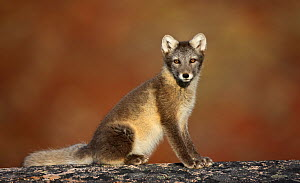 Arctic fox (Vulpes lagopus) sitting, Disko Bay, Greenland, August 2009  -  Wild Wonders of Europe / Jensen