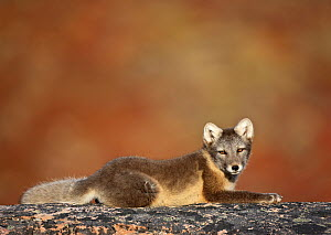 Arctic fox (Vulpes lagopus) lying on rock, Disko Bay, Greenland, August 2009  -  Wild Wonders of Europe / Jensen
