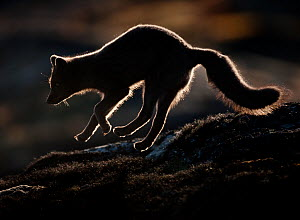 Arctic fox (Vulpes lagopus) silhouetted while jumping, Disko Bay, Greenland, August 2009  -  Wild Wonders of Europe / Jensen