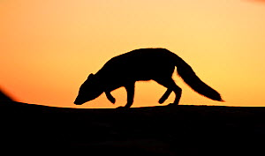 Arctic fox (Vulpes lagopus) silhouetted at sunset, Greenland, August 2009  -  Wild Wonders of Europe / Jensen