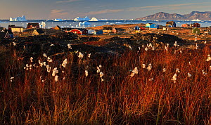 Cotton grass (Eriophorum sp) near coastal settlement, Saqqaq, Greenland, August 2009 - Wild Wonders of Europe / Jensen