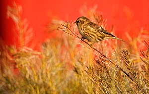 Twite (Carduelis flavirostris) perched, Saqqaq, Greenland, August 2009  -  Wild Wonders of Europe / Jensen