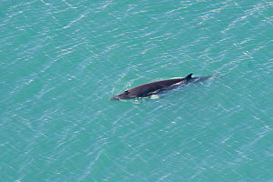 Aerial view of Common minke whale (Balaenoptera acutorostrata) at surface, Skjalfandi Bay, Northern Iceland, July 2009  -  Wild Wonders of Europe / Carwardine