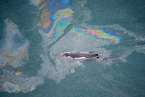 Aerial view of Humpback whale (Megaptera novaeangliae) swimming through oil slick, Skjalfandi Bay, Northern Iceland, July 2009  -  Wild Wonders of Europe / Carwardine