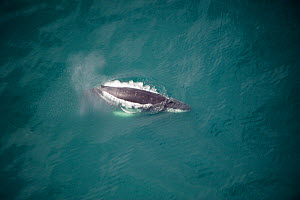 Aerial view of Humpback whale (Megaptera novaeangliae) at surface, Skjalfandi Bay, Northern Iceland, July 2009  -  Wild Wonders of Europe / Carwardine