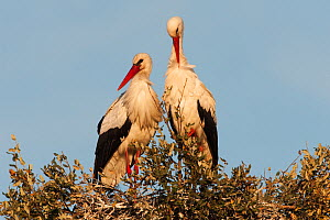 White stork (Ciconia ciconia) pair on nest, wetland reserve, Do�ana National & Natural Park, Huelva Province, Andalusia, Spain, May 2009  -  Wild Wonders of Europe / Oxford