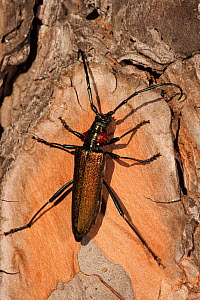 Longhorn beetle (Agapanthia ? sp) on wood, Do�ana National & Natural Park, Huelva Province, Andalusia, Spain, May 2009  -  Wild Wonders of Europe / Oxford