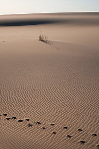 Red deer (Cervus elaphus) tracks and Marram Grass (Ammophila arenaria) in sand dunes, Do�ana National & Natural Park, Huelva Province, Andalusia, Spain, May 2009  -  Wild Wonders of Europe / Oxford