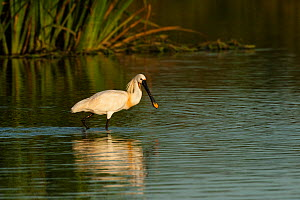 White spoonbill (Platalea leucorodia) walking through water, wetland reserve, Do�ana National & Natural Park, Huelva Province, Andalusia, Spain, May 2009  -  Wild Wonders of Europe / Oxford