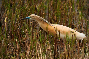 Squacco heron (Ardeola ralloides) amongst reeds, wetland reserve, Do�ana National & Natural Park, Huelva Province, Andalusia, Spain, May 2009  -  Wild Wonders of Europe / Oxford