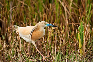 Squacco heron (Ardeola ralloides) walking, wetland reserve, Do�ana National & Natural Park, Huelva Province, Andalusia, Spain, May 2009  -  Wild Wonders of Europe / Oxford