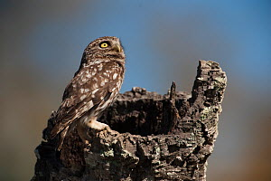 Little owl (Athene noctua) perched on tree stump, Do�ana National & Natural Park, Huelva Province, Andalusia, Spain, May 2009  -  Wild Wonders of Europe / Oxford