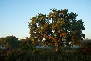 Cork trees (Quercus suber) and Wild olive (Olea europaea var, sylvestris) with a rich abundance of natural underbush made up of Mastic (Pistacia lentiscus) Fillirea (Phyllirea angustifolia) Strawberry...  -  Wild Wonders of Europe / Oxford