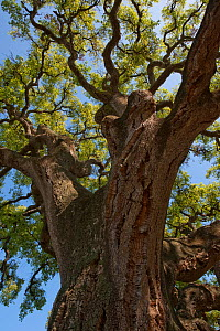 Cork oak tree (Quercus suber) Do�ana National & Natural Park, Huelva Province, Andalusia, Spain, May 2009  -  Wild Wonders of Europe / Oxford