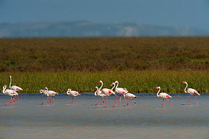 Greater flamingos (Phoenicopterus ruber) in lagoon, Do�ana National & Natural Park, Huelva Province, Andalusia, Spain, May 2009  -  Wild Wonders of Europe / Oxford