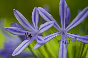 African lily (Agapanthus orientalis) Madeira, March 2009  -  Wild Wonders of Europe / Radisic