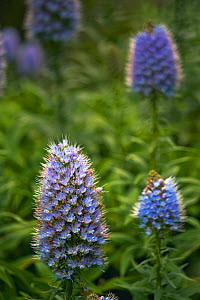 Pride of Maderia (Echium candicans) flowers, Madeira, March 2009 - Wild Wonders of Europe / Radisics