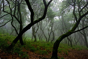 Misty forest in the Pico de Encumeada area, Madeira, March 2009 - Wild Wonders of Europe / Radisics