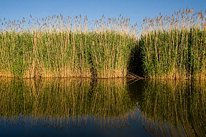 Reeds on in Tisza lake, Hortobagy National Park, Hungary, May 2009  -  Wild Wonders of Europe / Radisics