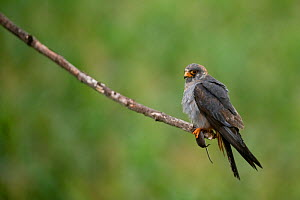 Red footed falcon (Falco vespertinus) perched on branch with a mouse in its claws, Hortobagy National Park, Hungary, July 2009 - Wild Wonders of Europe / Radisics