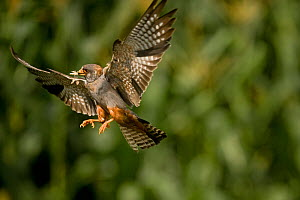 Red footed falcon (Falco vespertinus) in flight carrying insect prey for young, Hortobagy National Park, Hungary, July 2009  -  Wild Wonders of Europe / Radisics