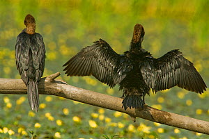 Rear view of Two Pygmy cormorants (Microcarbo pygmeus) perched on a branch, one with wings stretched out drying, Hortobagy National Park, Hungary, July 2009  -  Wild Wonders of Europe / Radisics