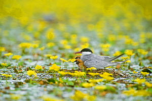 Whiskered tern (Chlidonias hybridus) with two chicks on nest in lake covered with flowering Fringed water lilies / Yellow floating heart (Nymphoides peltata) Hortobagy National Park, Hungary, July 200...  -  Wild Wonders of Europe / Radisics