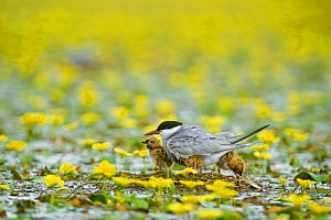 Whiskered tern (Chlidonias hybridus) with three chicks on nest in lake covered with flowering Fringed water lilies / Yellow floating heart (Nymphoides peltata) Hortobagy National Park, Hungary, July 2...  -  Wild Wonders of Europe / Radisics