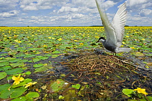 Whiskered tern (Chlidonias hybridus) with stretched wings on nest in lake covered in flowering Fringed water lilies / Yellow floating heart (Nymphoides peltata) Hortobagy National Park, Hungary, July... - Wild Wonders of Europe / Radisics