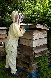 Beekeeper removing top from Hive ready to inspect Honey bees (Apis mellifera), Buckinghamshire, England, UK  -  Andy Sands