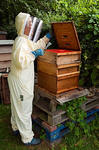 Beekeeper using hive tool to dismantle hive ready to inspect Honey bees (Apis mellifera), Buckinghamshire, England, UK  -  Andy Sands