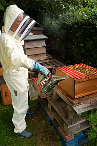 Beekeeper using smoker to subdue Honey bees (Apis mellifera) prior to inspection, Buckinghamshire, England, UK  -  Andy Sands